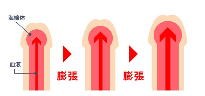 ペニス増大メカニズム血流